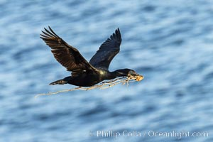 Brandt's Cormorant carrying nesting material, in flight as it returns to its cliffside nest, Phalacrocorax penicillatus, La Jolla, California