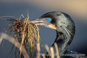 Brandt's Cormorant carrying nesting material in its beak, Phalacrocorax penicillatus, La Jolla, California