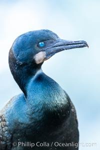 Brandt's Cormorant portrait, Phalacrocorax penicillatus, La Jolla, California