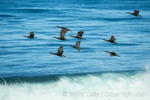 Brandt's cormorants flying over a breaking wave, Phalacrocorax penicillatus, La Jolla, California