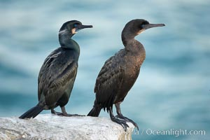 Brandt's cormorant. La Jolla, California, USA, Phalacrocorax penicillatus, natural history stock photograph, photo id 18550