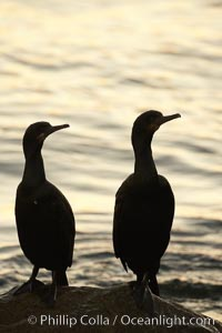 Brandt's cormorant in early morning golden sunrise light, on the Monterey breakwater rocks, Phalacrocorax penicillatus
