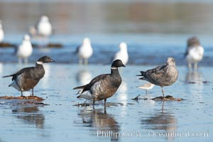 Brants (black), western gulls (white), on sandbar, Branta bernicla, Larus occidentalis, San Diego River