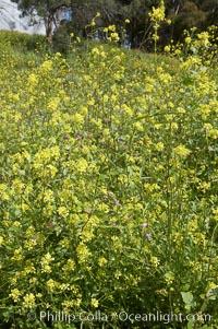 Black mustard, Batiquitos Lagoon, Carlsbad, Brassica nigra