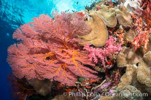 Bright red Plexauridae sea fan gorgonian and yellow sarcophyton leather coral on pristine coral reef, Fiji, Sarcophyton, Gorgonacea, Plexauridae, Vatu I Ra Passage, Bligh Waters, Viti Levu  Island