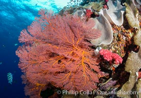Bright red Plexauridae sea fan gorgonian and yellow sarcophyton leather coral on pristine coral reef, Fiji, Sarcophyton, Gorgonacea, Plexauridae
