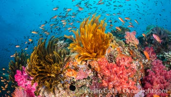 Brilliantlly colorful coral reef, with swarms of anthias fishes and soft corals, Fiji. Fiji, Pseudanthias, natural history stock photograph, photo id 34717