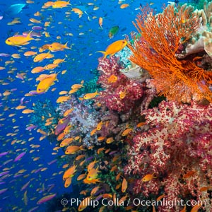 Brilliantlly colorful coral reef, with swarms of anthias fishes and soft corals, Fiji. Bligh Waters, Fiji, Dendronephthya, Pseudanthias, natural history stock photograph, photo id 34723