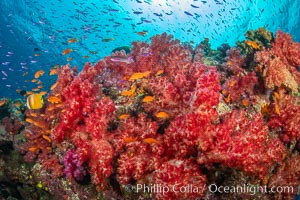 Brilliantlly colorful coral reef, with swarms of anthias fishes and soft corals, Fiji, Dendronephthya, Pseudanthias, Namena Marine Reserve, Namena Island