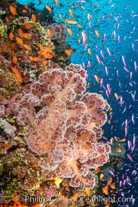Brilliantlly colorful coral reef, with swarms of anthias fishes and soft corals, Fiji. Fiji, Dendronephthya, Pseudanthias, natural history stock photograph, photo id 34804