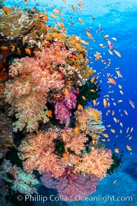 Brilliantlly colorful coral reef, with swarms of anthias fishes and soft corals, Fiji. Bligh Waters, Fiji, Dendronephthya, Pseudanthias, natural history stock photograph, photo id 34834