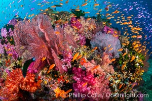Brilliantlly colorful coral reef, with swarms of anthias fishes and soft corals, Fiji. Vatu I Ra Passage, Bligh Waters, Viti Levu Island, Dendronephthya, Pseudanthias, natural history stock photograph, photo id 34871