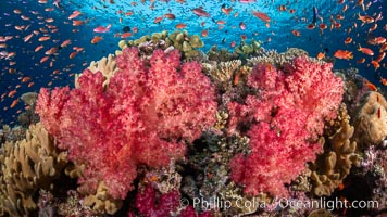 Brilliantlly colorful coral reef, with swarms of anthias fishes and soft corals, Fiji. Vatu I Ra Passage, Bligh Waters, Viti Levu Island, Dendronephthya, Pseudanthias, natural history stock photograph, photo id 34872