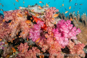 Brilliantlly colorful coral reef, with swarms of anthias fishes and soft corals, Fiji., Dendronephthya, Pseudanthias, natural history stock photograph, photo id 34876