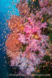 Brilliantlly colorful coral reef, with swarms of anthias fishes and soft corals, Fiji., Dendronephthya, Pseudanthias, natural history stock photograph, photo id 34890
