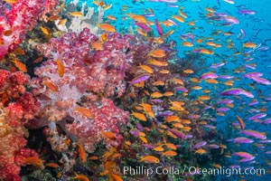Brilliantlly colorful coral reef, with swarms of anthias fishes and soft corals, Fiji. Bligh Waters, Dendronephthya, Pseudanthias, natural history stock photograph, photo id 34917