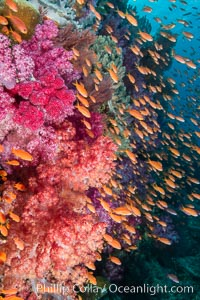 Brilliantlly colorful coral reef, with swarms of anthias fishes and soft corals, Fiji., Dendronephthya, Pseudanthias, natural history stock photograph, photo id 34921