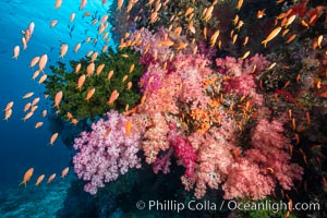 Brilliantlly colorful coral reef, with swarms of anthias fishes and soft corals, Fiji., Dendronephthya, Pseudanthias, natural history stock photograph, photo id 34923