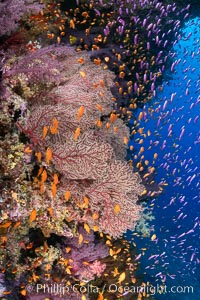 Brilliantlly colorful coral reef, with swarms of anthias fishes and soft corals, Fiji, Gorgonacea, Pseudanthias, Bligh Waters