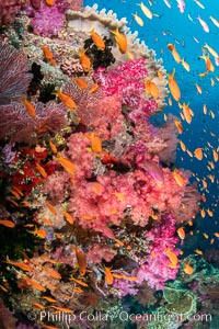Brilliantlly colorful coral reef, with swarms of anthias fishes and soft corals, Fiji, Dendronephthya, Pseudanthias, Vatu I Ra Passage, Bligh Waters, Viti Levu Island