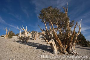 Bristlecone pines rising above the arid, dolomite-rich slopes of the White Mountains at 11000-foot elevation. Patriarch Grove, Ancient Bristlecone Pine Forest. White Mountains, Inyo National Forest, California, USA, Pinus longaeva, natural history stock photograph, photo id 17482