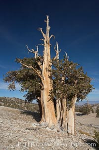 Bristlecone pine rising above the arid, dolomite-rich slopes of the White Mountains at 11000-foot elevation. Patriarch Grove, Ancient Bristlecone Pine Forest. White Mountains, Inyo National Forest, California, USA, Pinus longaeva, natural history stock photograph, photo id 17477