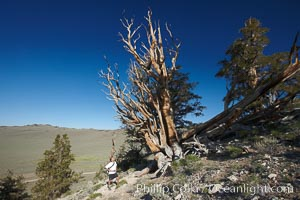 A hiker admires an ancient bristlecone pine tree, on the Methuselah Walk in the Schulman Grove in the White Mountains at an elevation of 9500 above sea level.  The oldest bristlecone pines in the world are found in the Schulman Grove, some of them over 4700 years old. Ancient Bristlecone Pine Forest. White Mountains, Inyo National Forest, California, USA, Pinus longaeva, natural history stock photograph, photo id 23232