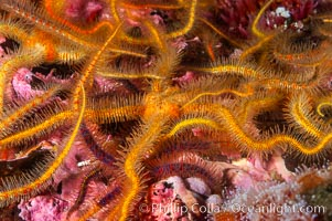Brittle sea stars (starfish) spread across the rocky reef in dense numbers. Santa Barbara Island, California, USA, Ophiothrix spiculata, natural history stock photograph, photo id 10155
