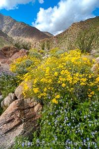 Brittlebush (yellow) and wild heliotrope (blue) bloom in spring, Palm Canyon. Anza-Borrego Desert State Park, Borrego Springs, California, USA, Encelia farinosa, natural history stock photograph, photo id 10457