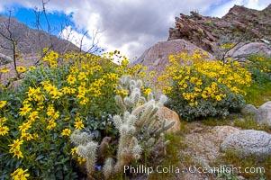 Brittlebush blooming in spring surrounds a cholla cactus, Palm Canyon, Encelia farinosa, Opuntia, Anza-Borrego Desert State Park, Borrego Springs, California