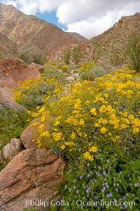 Brittlebush (yellow) and wild heliotrope (blue) bloom in spring, Palm Canyon, Encelia farinosa, Phacelia distans, Anza-Borrego Desert State Park, Borrego Springs, California