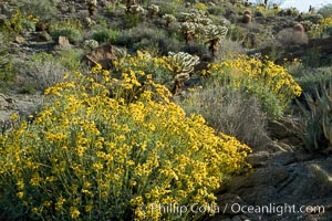 Brittlebush and various cacti and wildflowers color the sides of Glorietta Canyon.  Heavy winter rains led to a historic springtime bloom in 2005, carpeting the entire desert in vegetation and color for months. Anza-Borrego Desert State Park, Borrego Springs, California, USA, Encelia farinosa, natural history stock photograph, photo id 10927