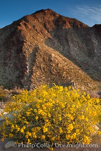 Brittlebush blooms in spring, Palm Canyon, Anza Borrego Desert State Park. Anza-Borrego Desert State Park, Borrego Springs, California, USA, Encelia farinosa, natural history stock photograph, photo id 24304