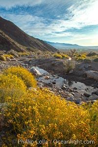 Brittlebush blooms in spring, Palm Canyon, Anza Borrego Desert State Park. Anza-Borrego Desert State Park, Borrego Springs, California, USA, Encelia farinosa, natural history stock photograph, photo id 24311