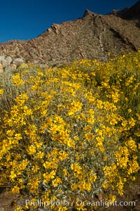 Image 24312, Brittlebush blooms in spring, Palm Canyon, Anza Borrego Desert State Park. Anza-Borrego Desert State Park, Borrego Springs, California, USA, Encelia farinosa, Phillip Colla, all rights reserved worldwide. Keywords: anza borrego, anza borrego desert state park, anza-borrego desert state park, brittle bush, brittlebrush, brittlebush, california, desert, desert wildflower, encelia farinosa, encienso, landscape, nature, outdoors, outside, plant, scene, scenic, state parks, usa, wildflower.