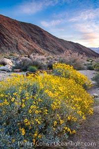 Brittlebush blooms in spring, Palm Canyon, Anza Borrego Desert State Park, Encelia farinosa, Anza-Borrego Desert State Park, Borrego Springs, California