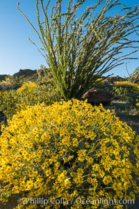 Brittlebush bloom in Anza Borrego Desert State Park, during the 2017 Superbloom. Anza-Borrego Desert State Park, Borrego Springs, California, USA, natural history stock photograph, photo id 33202