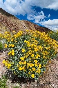 Brittlebush blooming in spring, Palm Canyon, Encelia farinosa, Anza-Borrego Desert State Park, Borrego Springs, California