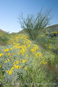 Image 10898, Brittlebush, ocotillo and various cacti and wildflowers color the sides of Glorietta Canyon.  Heavy winter rains led to a historic springtime bloom in 2005, carpeting the entire desert in vegetation and color for months. Anza-Borrego Desert State Park, Borrego Springs, California, USA, Encelia farinosa, Fouquieria splendens