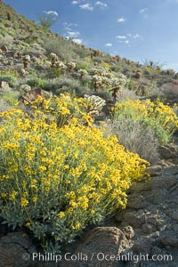 Brittlebush and various cacti and wildflowers color the sides of Glorietta Canyon.  Heavy winter rains led to a historic springtime bloom in 2005, carpeting the entire desert in vegetation and color for months. Anza-Borrego Desert State Park, Borrego Springs, California, USA, Encelia farinosa, natural history stock photograph, photo id 10903