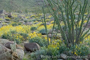 Brittlebush, ocotillo and various cacti and wildflowers color the sides of Glorietta Canyon.  Heavy winter rains led to a historic springtime bloom in 2005, carpeting the entire desert in vegetation and color for months. Anza-Borrego Desert State Park, Borrego Springs, California, USA, Encelia farinosa, Fouquieria splendens, natural history stock photograph, photo id 10910