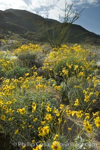 Brittlebush and various cacti and wildflowers color the sides of Glorietta Canyon.  Heavy winter rains led to a historic springtime bloom in 2005, carpeting the entire desert in vegetation and color for months. Anza-Borrego Desert State Park, Borrego Springs, California, USA, Encelia farinosa, natural history stock photograph, photo id 10912