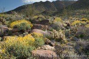 Brittlebush and various cacti and wildflowers color the sides of Glorietta Canyon.  Heavy winter rains led to a historic springtime bloom in 2005, carpeting the entire desert in vegetation and color for months. Anza-Borrego Desert State Park, Borrego Springs, California, USA, Encelia farinosa, natural history stock photograph, photo id 10914