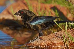 Bronzed cowbird, breeding male with red eye, Molothrus aeneus, Amado, Arizona