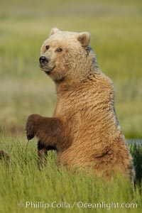 A brown bear mother (sow) stands in tall sedge grass to look for other approaching bears that may be a threat to her cubs. Lake Clark National Park, Alaska, USA, Ursus arctos, natural history stock photograph, photo id 19153