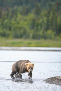 Brown bear walks along the edge of Brooks Lake, Ursus arctos, Brooks River, Katmai National Park, Alaska