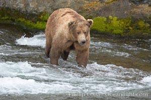 Brown bear (grizzly bear). Brooks River, Katmai National Park, Alaska, USA, Ursus arctos, natural history stock photograph, photo id 17206