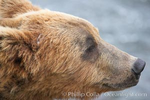 Brown bear head profile, Ursus arctos, Brooks River, Katmai National Park, Alaska