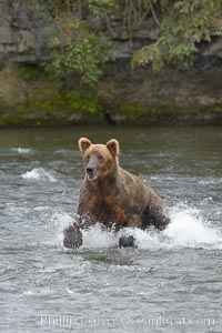Brown bear (grizzly bear). Brooks River, Katmai National Park, Alaska, USA, Ursus arctos, natural history stock photograph, photo id 17077