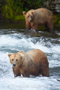 A large, old brown bear (grizzly bear) wades across Brooks River. Coastal and near-coastal brown bears in Alaska can live to 25 years of age, weigh up to 1400 lbs and stand over 9 feet tall. Brooks River, Katmai National Park, Alaska, USA, Ursus arctos, natural history stock photograph, photo id 17080